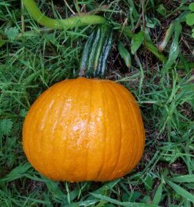 surprise fresh pumpkin in garden